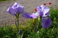 Iris bleu et jaune