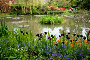 12Tulipes-noires-Claude-MONET